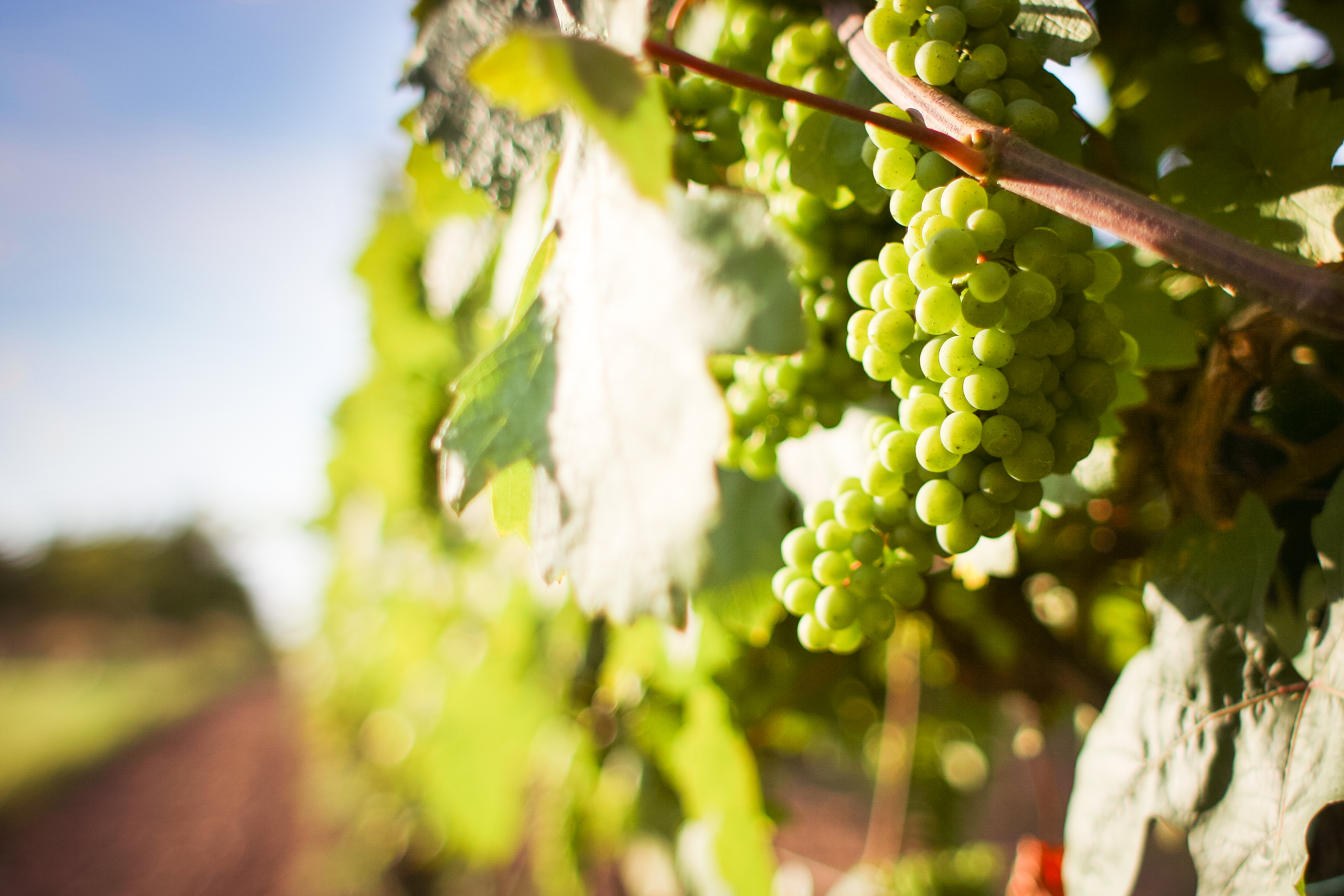 grapevine-with-detail-of-grapes-picjumbo-com